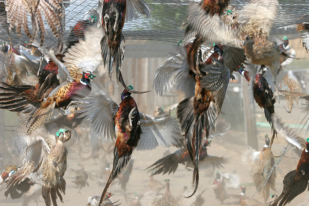western_spirit_ranches_pheasant_hunting_5133